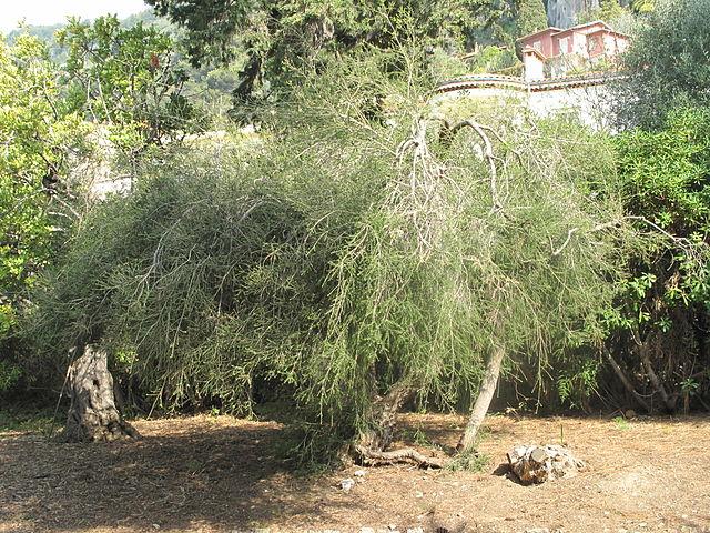 Usos cosméticos del aceite de árbol de té (Tea Tree Oil)