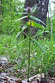 Melampyrum nemorosum cm01.jpg