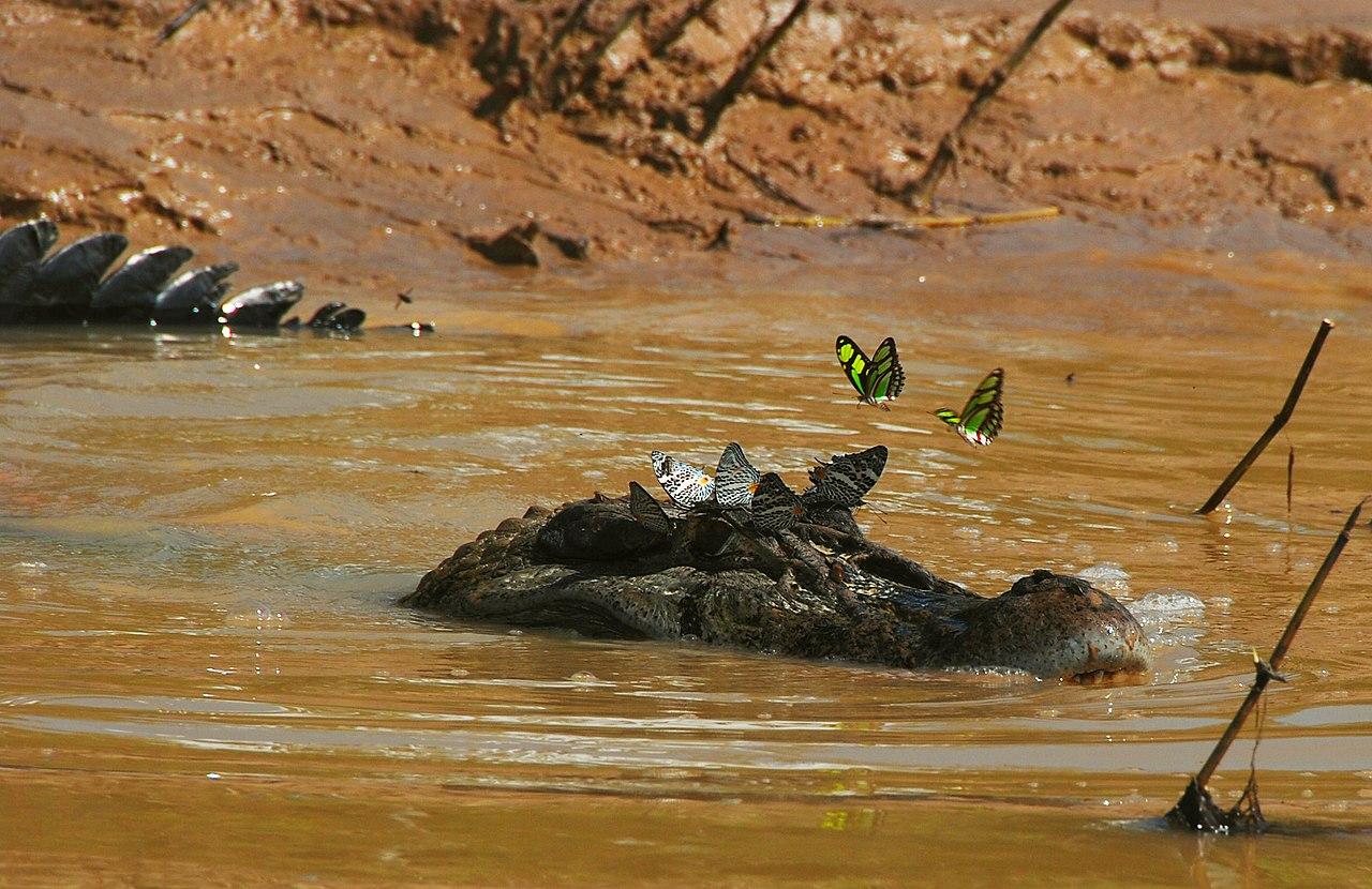 Black caiman - Wikiwand