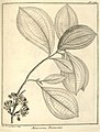 Melastoma flavescens Aublet 1775 pl 164.jpg