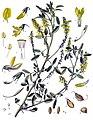 Melilotus officinalis - Köhler–s Medizinal-Pflanzen-093.jpg