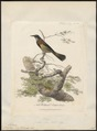 Meliphaga novae-hollandiae - 1789 - Print - Iconographia Zoologica - Special Collections University of Amsterdam - UBA01 IZ19200019.tif