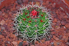 Melocactus pachyacanthus.JPG