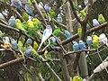 Melopsittacus undulatus flock.jpg