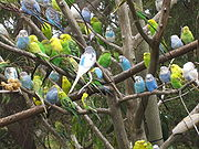 A flock of Budgerigars in an aviary
