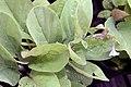 Mertensia virginica 8zz.jpg