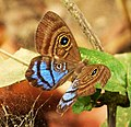 Mesosemia lamachus. (Purple-washed Eyed-Metalmark) (42075353834).jpg