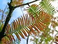 Metasequoia (Dawn Redwood).jpg