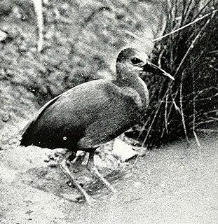 Aztec rail Species of bird