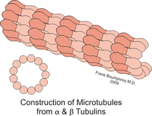 microtubules structure functions Microtubules linked to cardiomyocyte function in heart failure  therapeutic approach for treating human heart failure by modulating microtubule structure.