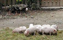 Minischwein Wikipedia