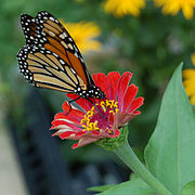 Monarch Butterfly Small Red Zinnia 1200px.jpg