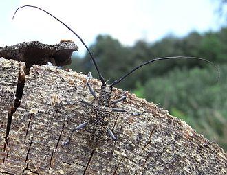 Bursaphelenchus xylophilus - Image: Monochamus galloprovincialis male up