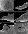 Moravec & Justine - New Cucullanidae - parasite200044-fig10.png