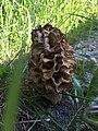 Morchella esculenta 77369218.jpg