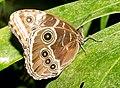 Morpho peleides Naturospace Honfleur -7161.jpg