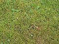 Mos in gazon (Moss in lawn).jpg