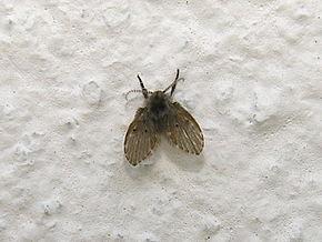 Psychoda wikip dia - Eliminer les mouches dans la maison ...