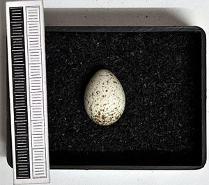 Wagtail - Egg, Collection Museum Wiesbaden, Germany