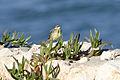 Motacilla flava - Western Yellow Wagtail - Sarı kuyruksallayan 01.jpg