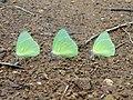 Mottled Emigrant Butterflies (Catopsilia pyranthe) at Kambalakonda 01.jpg