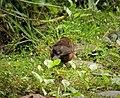 Mountain Firetail. Oreostruthus fuliginosus (48826371488).jpg