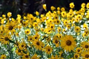 Mazama, Washington - Wildflowers above Mazama on the Spokane Gulch Trail.