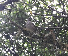 Mountain Thrush (6944853208).jpg