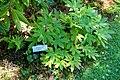 Mukdenia rossii - Asticou Azalea Garden - Northeast Harbor, Maine - DSC03628.jpg