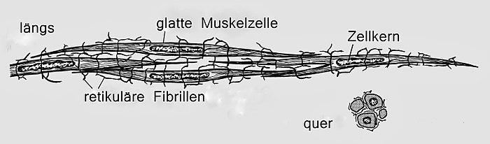 Glatte Muskulatur - Wikiwand