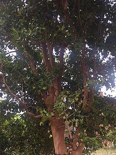 <i>Myrcianthes fragrans</i> species of plant