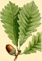 NAS-008g Quercus montana.png