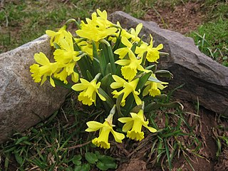 <i>Narcissus jacetanus</i> Species of daffodil