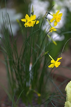 Narcissus jonquilla 001 GotBot 2016.jpg