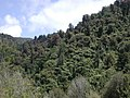 Native bush in Waiohine Gorge.jpg