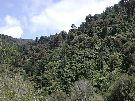 Large areas of native bush has been logged and cleared for pasture in the past. Native bush in Waiohine Gorge.jpg