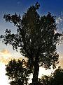 Naturdenkmal - die Silberpappel im Wiener 20.Bezirk 2.jpg