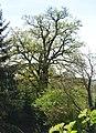 Naturdenkmal Stiel-Eiche am Wiesensteig in St. Martin (VS 10)a.JPG