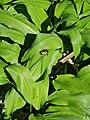 Nature Reserve Goldgrund Naturschutzgebiet green rose chafer - Goldglänzender Rosenkäfer.jpg