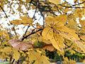 Naverlönn (Acer campestre) i Plantis 3375.jpg