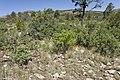 Near Carr Canyon - Flickr - aspidoscelis.jpg
