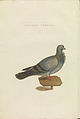 Nederlandsche vogelen (KB) - Columba livia (420b).jpg