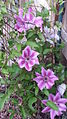Nelly Moser Clematis.jpg