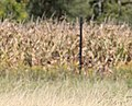 Nelson's Sparrow, McCool's Pond, Indiana, September 29, 2012 (8039550987).jpg