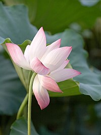 Nelumbo nucifera wikipedia lotus plant mightylinksfo