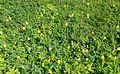 Neptunia oleracea kz1.jpg