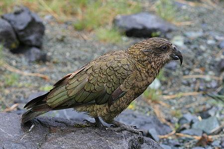 An adult Kea (Nestor notabilis) in Fiordland, New Zealand.