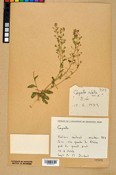 File:Neuchâtel Herbarium - Capsella rubella - NEU000023135.jpg