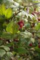 Nidda Fauerbach Rubus idaeus ws.png