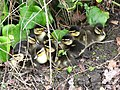 Nine little ducklings - geograph.org.uk - 777004.jpg